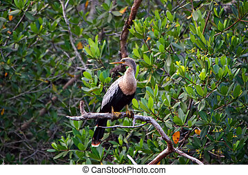 Anhinga Bird Ding Darling Wildlife Refuge Sanibel Florida