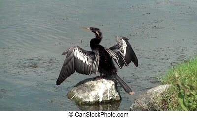 Anhinga Darter on a rock drying wings