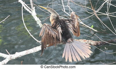 Anhinga Drying Feathers - An anhinga dries it feathers while...