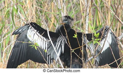 Anhinga Grooming - An anhinga grooms itself while perched on...