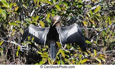 Anhinga bird drying its wings, Everglades Florida