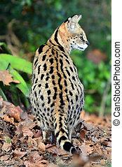 animais, fauna, -, serval