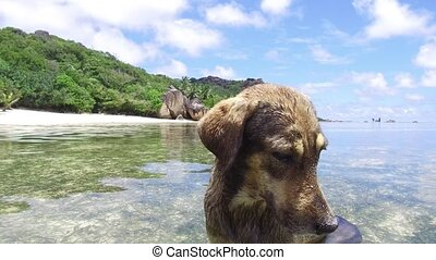 dog in sea or indian ocean water on seychelles