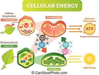 Animal and plant cell energy cycle vector illustration...