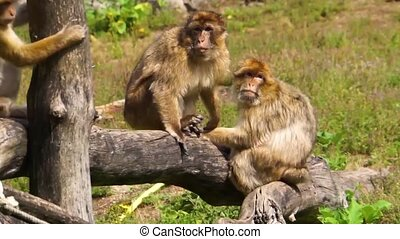 animal, barbary, mis danger, groupe ensemble, social,...