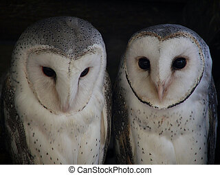 Animal - barn owl