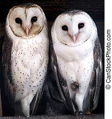 Three cute barn owls