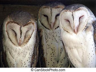 Animal - barn owl - Three cute barn owls