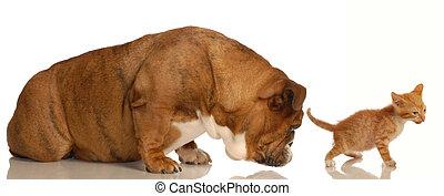 animal behaviour - english bulldog sniffing orange tabby kittens backside