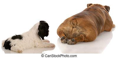 animal behavior - cocker spaniel puppy looking at bulldogs backside