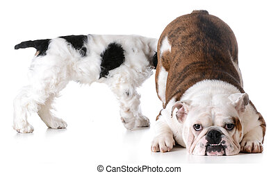 animal behaviour - one dog sniffing another dogs backside