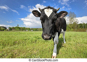 Animal big snout. The portrait of cow with big snout on the background of green field. Farm animals. Grazing cow