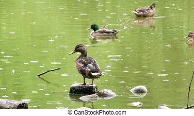 Animal Bird Ducks on Green Lake in a Rainy Day
