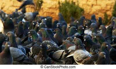 Animal Bird Pigeons