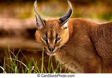 A caracal cat sneaks around in the foliage