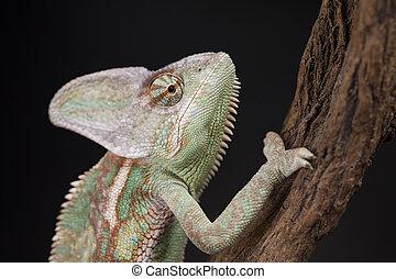 Animal, Chameleon lizard