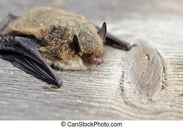 animal, chauve-souris, nathusius, pipistrelle, (pipistrellus...