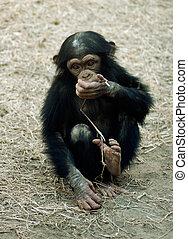 animal, chimpancé, -