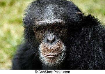 The close-up portrait of an adult male chimpanzee (pan trodlogyte)