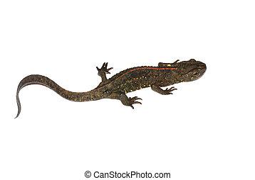 animal chinese salamander