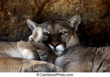 Animal - Cougar - Two cougars cuddle up next to each other.