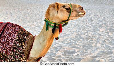 animal del desierto, camello