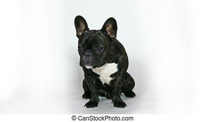 animal dog breed French bulldog sitting