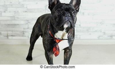 animal dog breed French bulldog