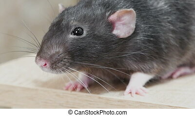 Animal domestic gray rat close-up