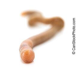 animal earthworm isolated on white
