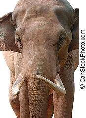 animal elephant head