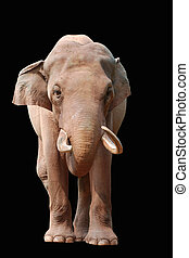 animal elephant isolated in black