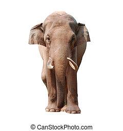 animal elephant isolated in white