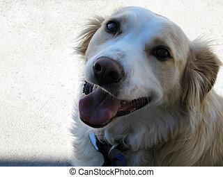animal estimação, cão