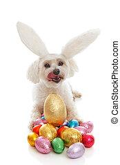 animal estimação, cão, orelhas coelho, ovos páscoa