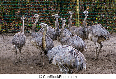 animal family of common rheas together, group of of ...