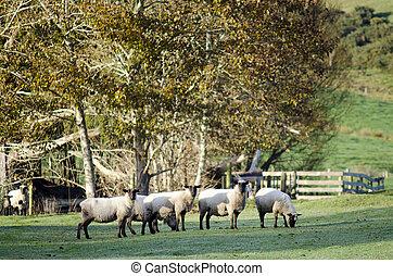 Animal Farm - Black Sheep