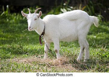 Animal Farm - Goat  - White Goat in animal farm eats hay.
