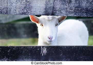Animal Farm - Goat - White Goat looks out from a fence of...