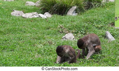 Animal Friendship Between Two Money - Two monkeys looking...