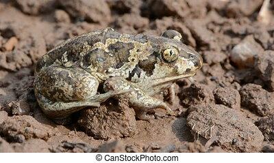 animal frog Pelobates fuscus