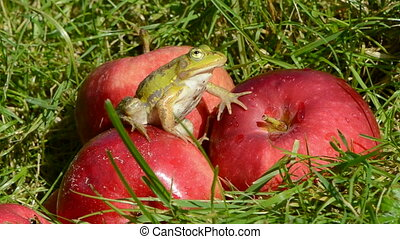 animal green frog on red apple