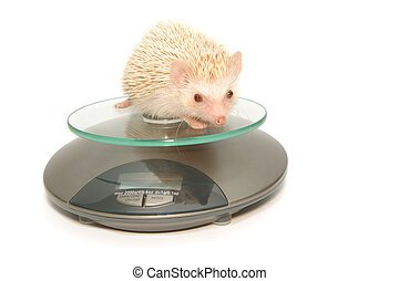 Hedgehog  laying on weight  scales