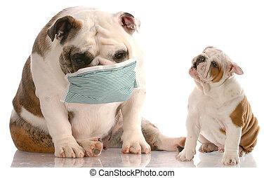 animal health care - english bulldog puppy sneezing at...