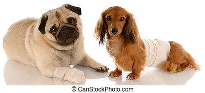 animal health - pug and dachshund with wounds