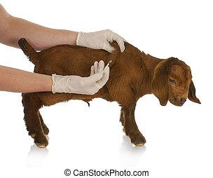 animal health - farm veterinary care - south african goat...