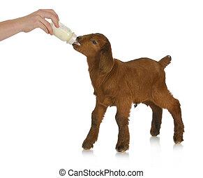animal health - hand bottle feeding baby goat on white...