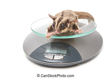 animal health - Sugar glider on weigh scales