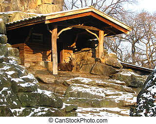 A zoo house for a goat. The goat is lying like he is the king of the hill.