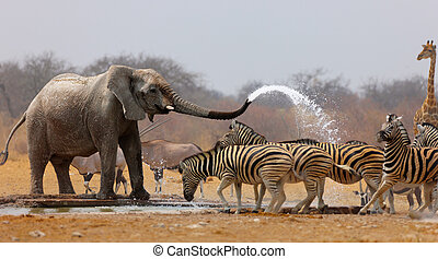 Animal humour - Elephant spraying zebras with water to keep...